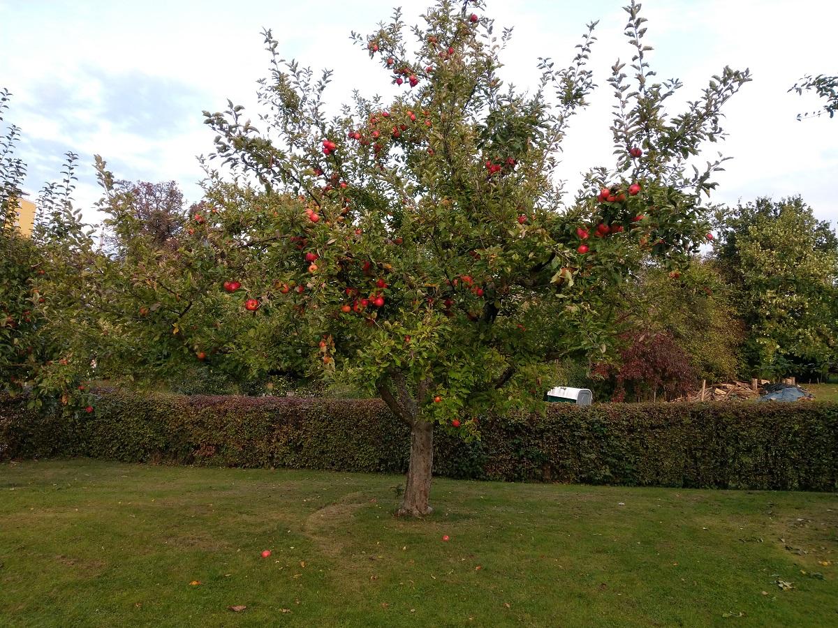 Apfelbaum mit stabilen Fruchtästen