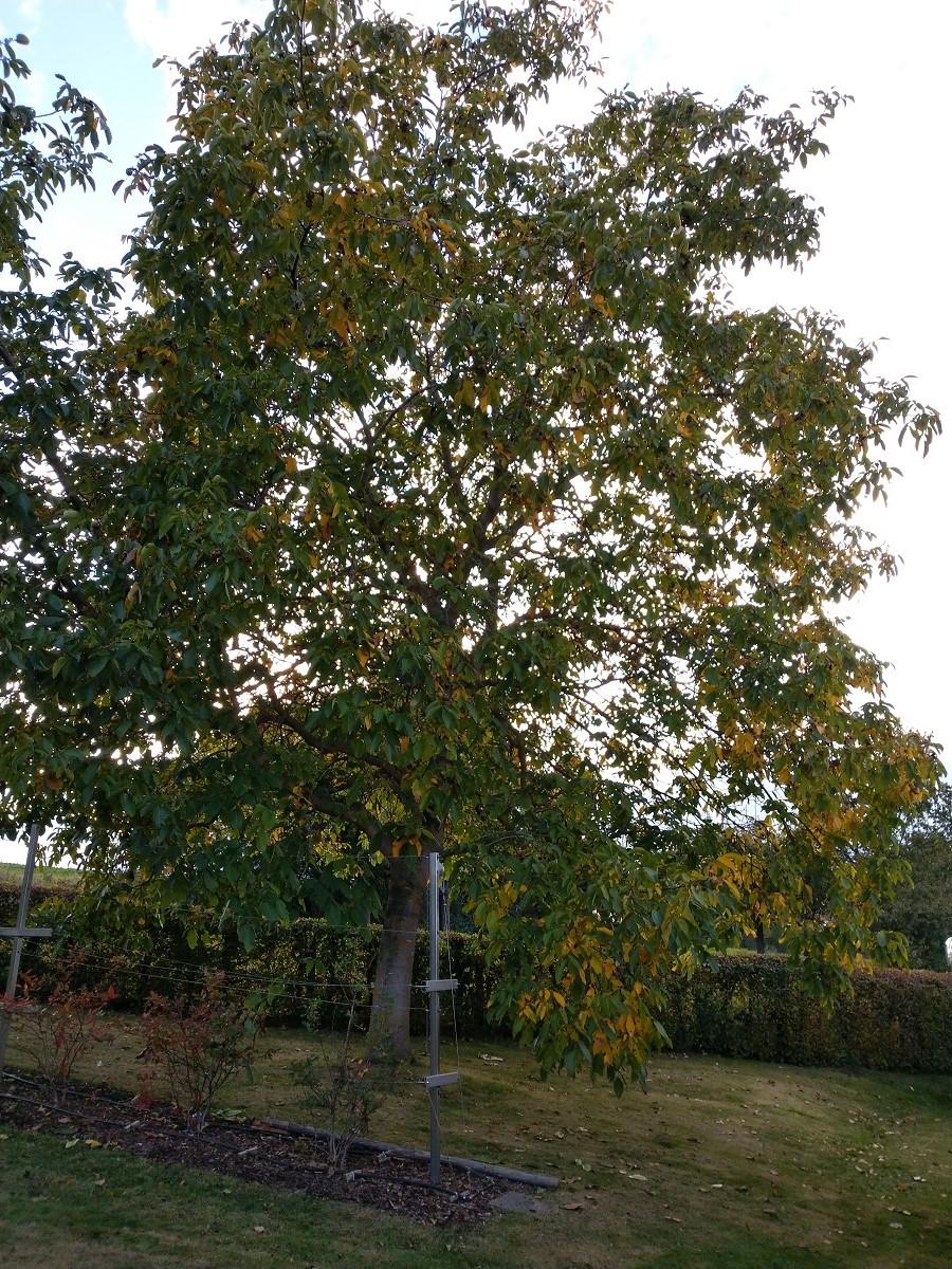 Heidelbeeren im Schatten der Walnuss